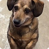 Dachshund Mix Dog for adoption in AUR, Illinois - Pacino