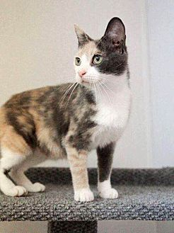 Calico Cat for adoption in Savannah, Georgia - Sweet Dee
