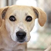 Adopt A Pet :: BOSTON - Kyle, TX