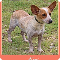 Welsh Corgi/Australian Cattle Dog Mix Dog for adoption in Hillsboro, Texas - Naomi