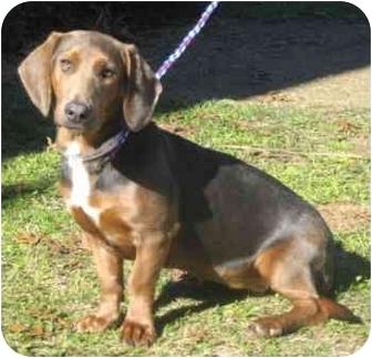 Basset Hound/Dachshund Mix Dog for adoption in Portsmouth, Rhode Island - Patty