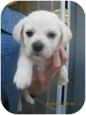 Terrier (Unknown Type, Small)/Beagle Mix Puppy for adoption in Brookline, Massachusetts - Layla