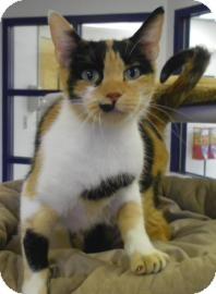 Calico Cat for adoption in Lincolnton, North Carolina - Betty Davis