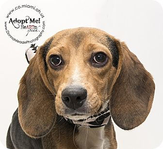 Beagle Dog for adoption in Troy, Ohio - Carter