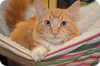 Domestic Mediumhair Cat for adoption in El Dorado Hills, California - Morris