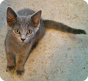 Russian Blue Kitten for adoption in Lawrenceburg, Tennessee - Fay