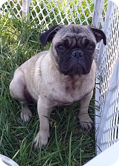 Pug Dog for adoption in Benton, Kansas - Archie