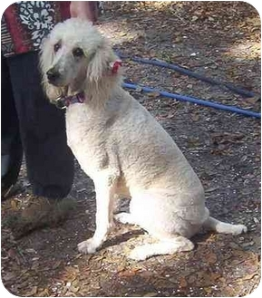Standard Poodle Dog for adoption in Palmetto, Florida - Miss Zoe