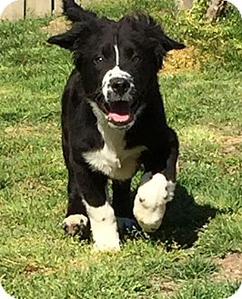 Newfoundland/Springer Spaniel Mix Puppy for adoption in Parsippany, New Jersey - HERCULES