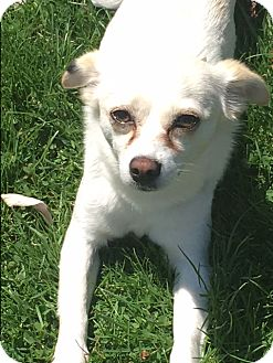 Chihuahua/Rat Terrier Mix Puppy for adoption in St. Charles, Illinois - Gem