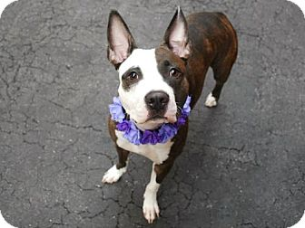 American Pit Bull Terrier Mix Dog for adoption in Ridgefield, Connecticut - Suzy