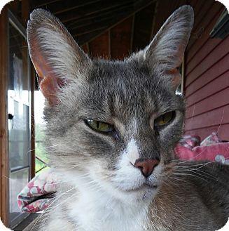 Domestic Shorthair Cat for adoption in Brimfield, Massachusetts - Charles $10