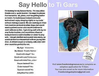 Poodle (Miniature)/Terrier (Unknown Type, Small) Mix Dog for adoption in Ottawa, Ontario - Ti-Gars