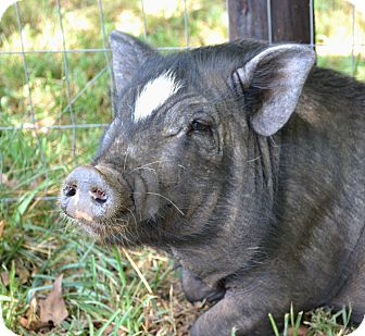 Pig (Farm) for adoption in Nashville, Tennessee - Millie the Pig