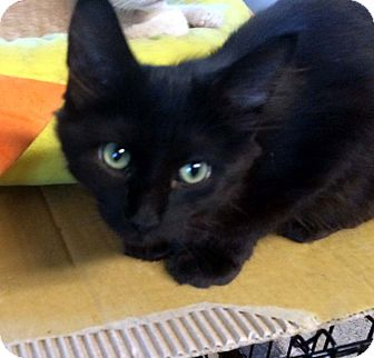 Domestic Longhair Kitten for adoption in Lombard, Illinois - Cha Cha