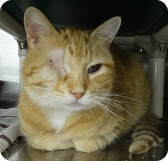 Domestic Shorthair Cat for adoption in Elyria, Ohio - Kitt
