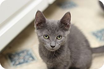 Russian Blue Kitten for adoption in Marietta, Georgia - Penelope