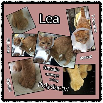 Polydactyl/Hemingway Cat for adoption in Richmond, California - Lea