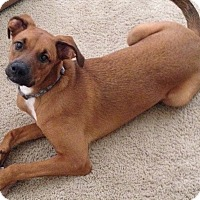 Rhodesian Ridgeback/Mixed Breed (Medium) Mix Dog for adoption in Phoenix, Arizona - Eme
