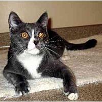 Domestic Shorthair Cat for adoption in Fremont, Michigan - Pilot