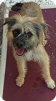 Border Terrier Mix Dog for adoption in Apache Junction, Arizona - Zoey