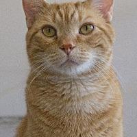 Adopt A Pet :: Simba - St. Louis, MO