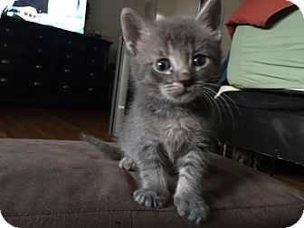 Domestic Shorthair Kitten for adoption in Tampa, Florida - Pewter