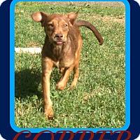 Adopt A Pet :: COPPER - Halifax, NS