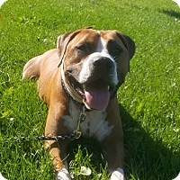 American Bulldog/Pit Bull Terrier Mix Dog for adoption in West Allis, Wisconsin - Bourbon **Courtesy Cupid