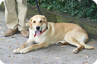 Labrador Retriever/Shepherd (Unknown Type) Mix Dog for adoption in West Milford, New Jersey - AMOS-pending