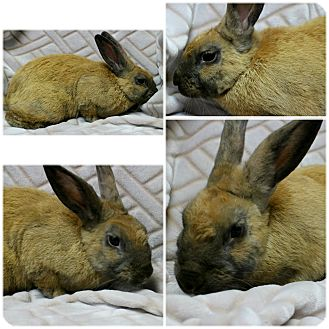 American Mix for adoption in Forked River, New Jersey - Cinna Bun
