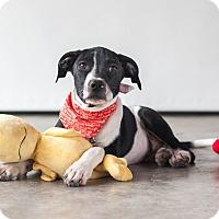 Adopt A Pet :: Dahlia - Victoria, BC