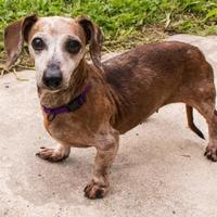 Adopt A Pet :: Cinnamon - Fairfax, VA