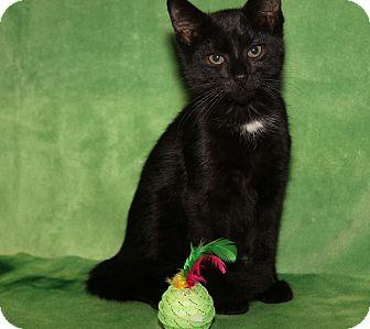 Domestic Shorthair Cat for adoption in Marietta, Ohio - Chief Dan George