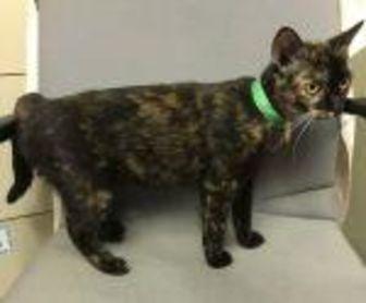 Domestic Shorthair/Domestic Shorthair Mix Cat for adoption in Livingston, Texas - Tulip
