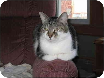 Domestic Shorthair Cat for adoption in North Boston, New York - Gulliver