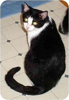 Domestic Shorthair Cat for adoption in Danville, Kentucky - Oreo