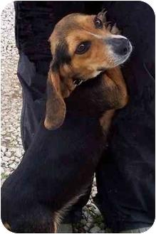 Beagle Mix Dog for adoption in Sullivan, Missouri - Kelly