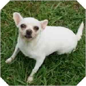Chihuahua Mix Dog for adoption in Sugar Land, Texas - Charmin