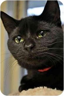 Domestic Shorthair Cat for adoption in Byron Center, Michigan - Sheridan