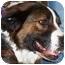 Photo 1 - St. Bernard/Anatolian Shepherd Mix Dog for adoption in Overland Park, Kansas - Gracie