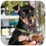 Photo 3 - Manchester Terrier Puppy for adoption in Coral Springs, Florida - Gracie