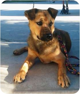 Shepherd (Unknown Type) Mix Puppy for adoption in El Cajon, California - Cassidy