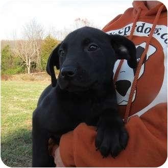 Labrador Retriever Mix Puppy for adoption in Westbrook, Connecticut - Brock