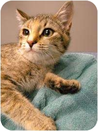 Domestic Shorthair Cat for adoption in Gainesville, Florida - Rennie