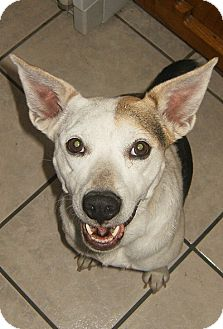 Australian Cattle Dog/Beagle Mix Dog for adoption in Alamogordo, New Mexico - Jessy