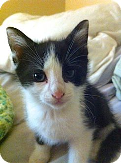Domestic Mediumhair Kitten for adoption in Corpus Christi, Texas - William