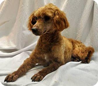 Poodle (Toy or Tea Cup) Dog for adoption in Elk River, Minnesota - SAMSON
