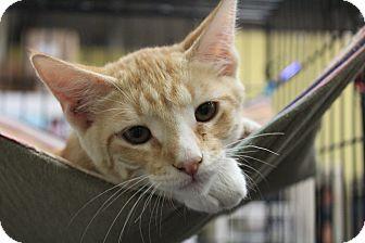 Manx Kitten for adoption in Santa Monica, California - riddler