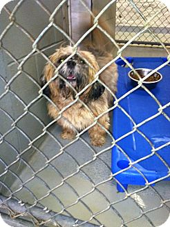 Lhasa Apso Dog for adoption in Fort Riley, Kansas - Koda